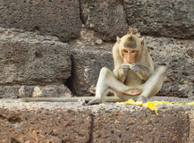Monkey eating fruit on the stone wall. Monkey eating fruit on the ancient stone wall Royalty Free Stock Photo