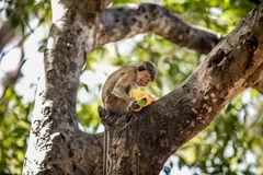 Monkey Eating a Fruit on a Tree. Monkey Sitting on a Tree and Eating a Mango  Fruit Stock Image