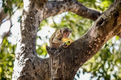 Monkey Eating a Fruit on a Tree. Monkey Sitting on a Tree and Eating a Mango  t Royalty Free Stock Photography
