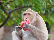 Monkey eating fruit. In tropical jungle Stock Photos