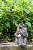 Monkey eating fruit in ubud forest, Bali. Monkey eating fruit at sacred monkey forest, Ubud, Bali, Indonesia Royalty Free Stock Photos