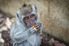 Monkey eating the fruit. In Uluwatu Royalty Free Stock Photos