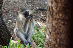 Monkey eating fruit. A vervet monkey eating a piece of fruit Royalty Free Stock Image