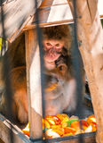 Monkey eating fruit in zoo. Fresh food Royalty Free Stock Photo