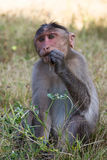 Monkey eating grass. Loyal, honesty look in his eyes Stock Photo