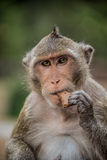 Monkey eating and having fun at Ankor Wat temple. Asia wildlife. Stock Photos