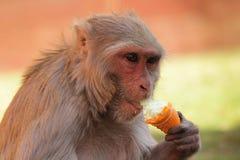Monkey Eating Ice-Cream. In India Royalty Free Stock Photos