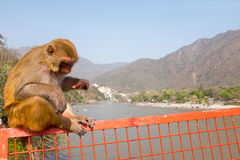 Monkey eating an icecream on the bridge at Laxman Jhula in India Stock Image