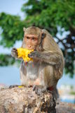 Monkey Eating Jack fruit. On the  rock Royalty Free Stock Photo