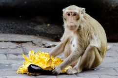 Monkey eating Jackfruit. Monkey eating Jackfruit at the sidewalk royalty free stock image