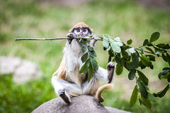 Monkey Eating Leaves on Branch Sitting on Stone. On Blurred Bokeh Green Background royalty free stock photography
