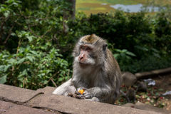 Monkey Eating Lichi. The crab-eating macaque monkeys of Indonesia harass tourists for food.  They especially enjoy the Lychee fruits Stock Image