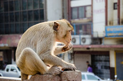 Monkey Eating. The monkey living in capital of Lopburi province, Thailand Stock Photo