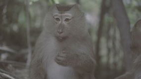 Monkey eating next to the other in forest. Monkey Hill in Phuket, Thailand stock video footage