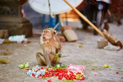 Monkey eating offerings in a Balinese temple Stock Photography