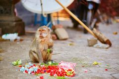 Monkey eating offerings in a Balinese temple Royalty Free Stock Photos