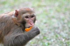 Monkey eating orange. In hong kong country park Royalty Free Stock Photo