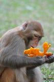 Monkey eating orange. In hong kong country park Stock Image
