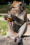 Monkey. The monkey eating an orange Stock Photo