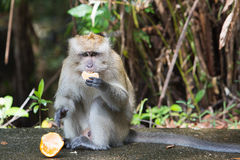 Monkey eating orange Stock Photos