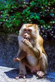 Monkey at sunny day at Monkey Hill Royalty Free Stock Images