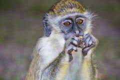 Monkey eating a peanut Stock Photography