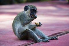 Monkey eating a peanut Stock Images