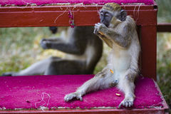 Monkey eating a peanut Royalty Free Stock Images