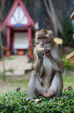 Monkey eating a peanut Royalty Free Stock Photo