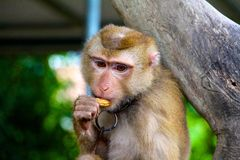 Monkey eating peanuts while thinking Royalty Free Stock Photography