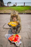 Monkey eating. Monkey  eating at Phra Prang Sam Yot. At Lop Buri, Thailand Stock Photography
