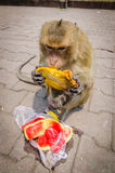 Monkey eating. Monkey  eating at Phra Prang Sam Yot. At Lop Buri, Thailand Royalty Free Stock Image