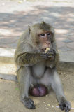 Monkey eating a piece of corn. Monkey is eating a piece of corn in THAILAND royalty free stock photography