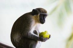 Monkey eating a piece of fruit. At Kololi. Gambia Stock Photo