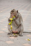 Monkey eating raw mango. Long tail monkey eating raw mango, monkey live in city Royalty Free Stock Photos