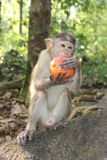 Monkey eating red apple in India. Beautiful monkey, monkey in the forest appetizing eating red apple. India, Goa. Monkey sitting on a rock and eating Stock Photo