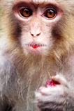 Monkey eating red bayberry Stock Photos