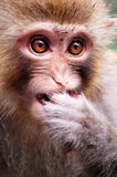 Monkey eating red bayberry Royalty Free Stock Photography