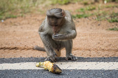 Monkey eating roasted corn Stock Photography
