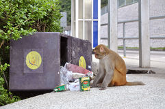 Monkey eating from rubbish bin, Kam Shan Country Park, Kowloon Royalty Free Stock Photo
