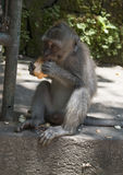 Monkey eating. Small monkey eating on piece of bread Royalty Free Stock Image