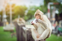 Monkey eating some sweet drink from plastic bag. In Lopbur Thailand royalty free stock photo