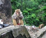 Monkey Eating. Royalty Free Stock Images