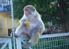 Monkey Eating. Royalty Free Stock Photo