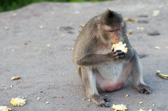 Monkey. A monkey is eating something Stock Photography
