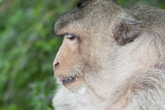 Monkey. A monkey is eating something Royalty Free Stock Images