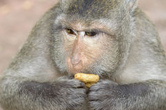 Monkey. A monkey is eating something Royalty Free Stock Photography