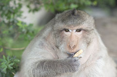 Monkey. A monkey is eating something Royalty Free Stock Image
