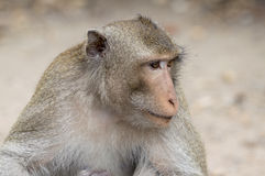 Monkey. A monkey is eating something Royalty Free Stock Photos