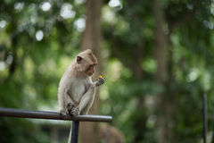 Monkey eating Royalty Free Stock Image